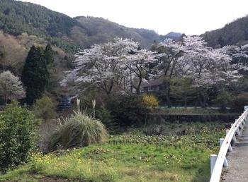 山桜満開.jpg