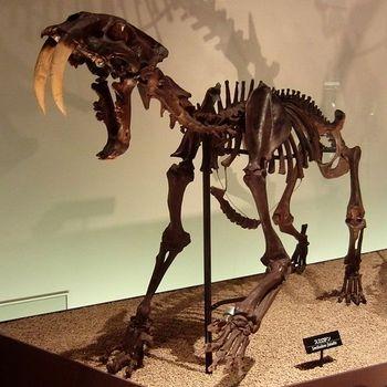 600px-Smilodon_Skeleton.jpg
